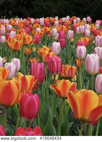 Tulips, Vibrantly Colored In Full Bloom In A Botanical Garden In The Early Afternoon, Fill The Pictu