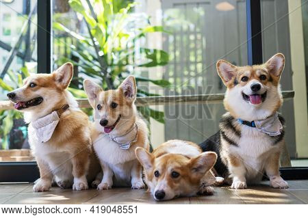 Adorable Brown Welsh Corgi Sitting On Wood Floor While Learning Something And Looking Owner At Home.