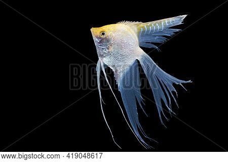 Beautiful Silver White And Yellow Skalar Or Scalare Or Angelfish Long Tail Swim Over Isolated Black