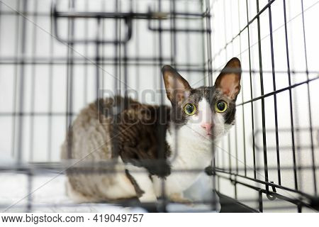 Breed Cornish Rex Cat During Examination In Veterinary Clinic. Pet Health. Care Animal. Homelessness