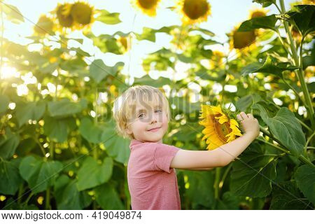 Preschooler Boy Walking In Field Of Sunflowers. Child Playing With Big Flower And Having Fun. Kid Ex