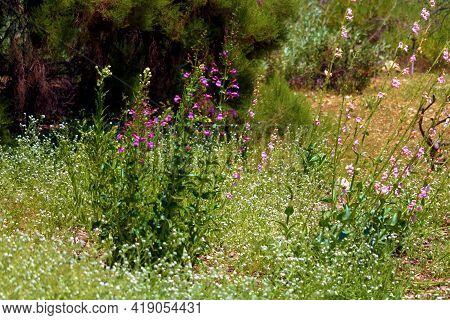 Chaparral Plants And Spring Wildflowers On A Lush Grassy Field Taken At A Chaparral Woodland In The