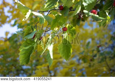 A Branch Full Of Red Hawthorn Berries In Early Autumn. Hawthorn Berries. Crataegus Monogyna