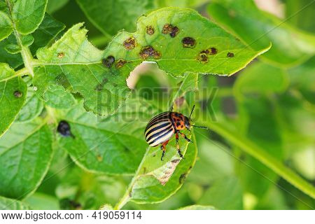 Colorado Beetle Sitting On A Pitted Potato Leaf. Focus On The Pest's Legs. Bug Eating A Plant. Close