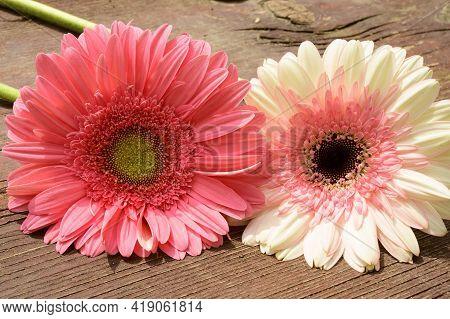 Very Beautiful Color Gerber Flower Close Up