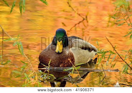 Mallard Duck