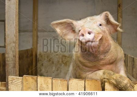 Pig Standing Up