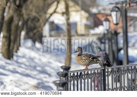 A Wild Duck Next To A Pigeon On A Wrought-iron Fence In A Snow-covered City Park.