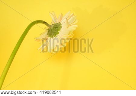 Very Nice Gerber Flower From Behind Close Up
