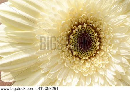 Very Pretty White Gerber Flower Close Up