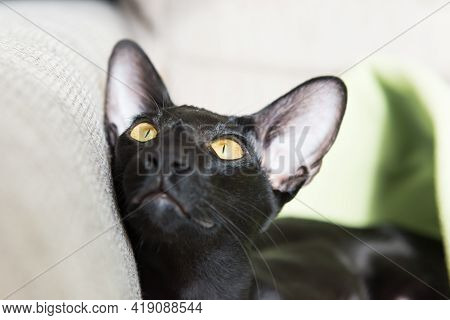 Black Oriental Purebred Cat, Black Oriental Cat On Sofa