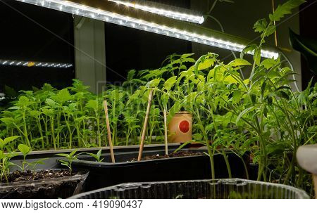 Tomato Sprouts On A Windowsill At Night Under Artificial Infrared Lighting