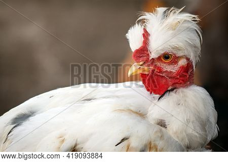 White Young Tufted Cock Portrait In A Brown Background