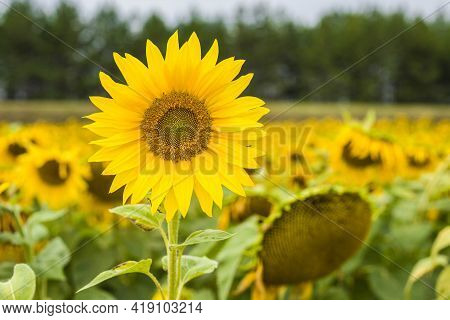 Sunflower Natural Background. Sunflower Blooming. Close-up Of Sunflower.