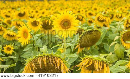 Background Of Sunflowers. Flowering Of Sunflowers. Landscape Of Sunflowers For Your Banner Ad.