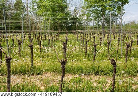 A Vineyard Close To The North East Italian Village Of Orzano In Friuli-venezia Giulia In Late April.