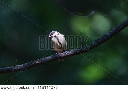 Great Tit Chick Perching On The Branch In The Summer Forest.  Juvenile Little Passerine Bird With Gr