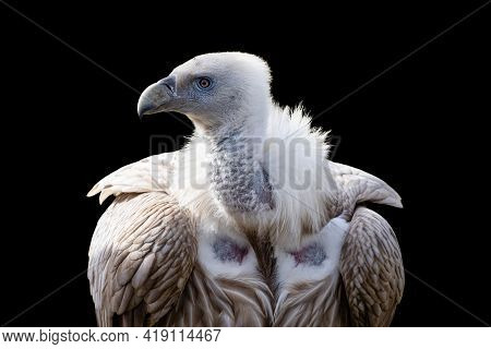 Himalayan Vulture Close-up Portrait Isolated On Black Background. Himalayan Griffon Vulture (gyps Hi