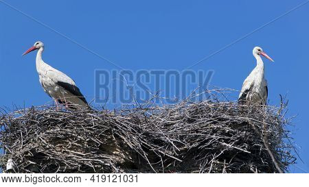 Two White Storks. Ciconia. Stork. Wild Bird. Stork Nest. A Pair Of Birds In The Nest. Two Storks. La