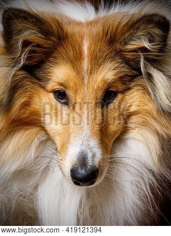 Close-up Of Dog Portrait. Face Of Sheltie - Shetland Sheepdog