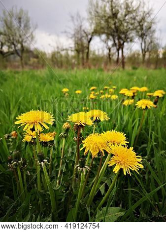 Yellow Dandelions  In Green Grass - Springtime On The Meadows