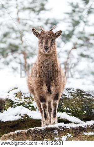 Markhor Kid With Little Horns Standing On The Rock. Young Screw-horned Goat With Snowy Forest In The