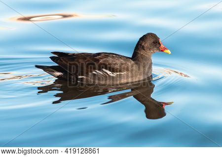 Common Moorhen Swimming On Blue Water. Waterhen Or Swamp Chicken Is Wading Bird With Black Plumage,
