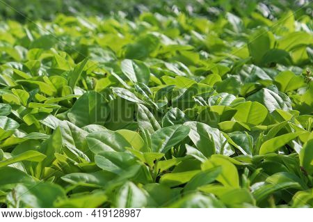 Young Green Leaves On A Limon Plant Without Blossoms