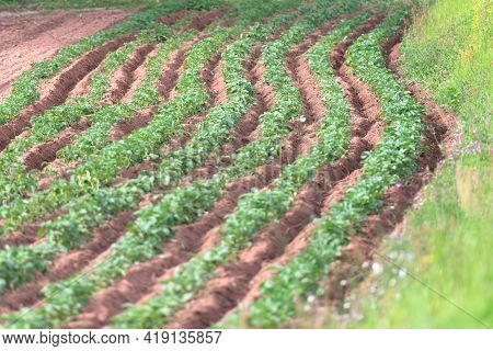 New Potatoes In May In Italy. New Potatoes In May In Italy. Young Potatoes On The Beds Grow After Ho