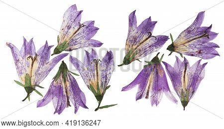 Pressed And Dried Flowers Campanula, Isolated On White Background. For Use In Scrapbooking, Floristr