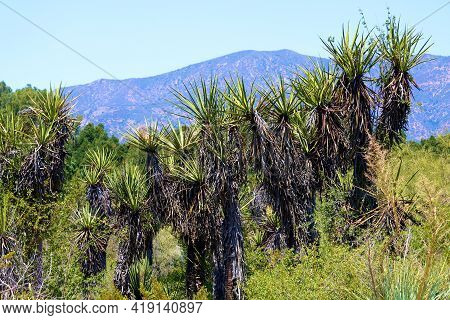 Chaparral Shrubs Besides Yucca Plants On A Southern California High Desert Plateau At A Chaparral Wo