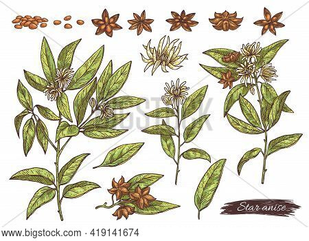 Anise Plant Parts Set With Anise Stars, Engraving Vector Illustration Isolated.