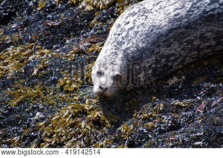 A Closeup Of The Seal On The Rock.  West Vancouver Bc Canada