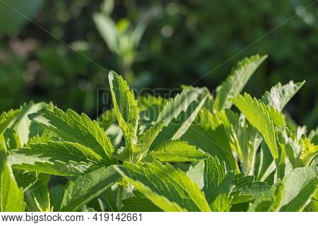 Closeup View Of Stevia Leaves With Sunlight On Them Outdoors