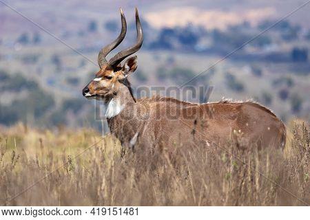 Endemic Mountain Nyala In Ale Mountains Ethiopia