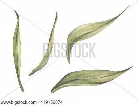 Set Of Tulip Leaf. Floral Botanical Flower. Watercolor Floral Botanical Illustration.