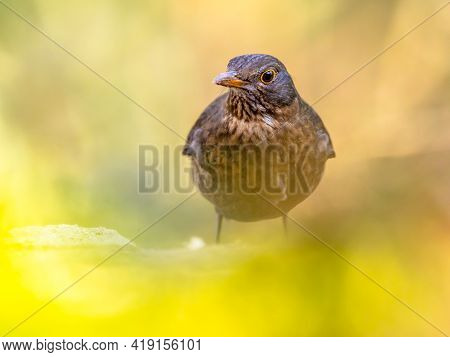 Common Blackbird (turdus Merula). One Of The Most Familiar Birds In Parks And Gardens Of Europe. Fem