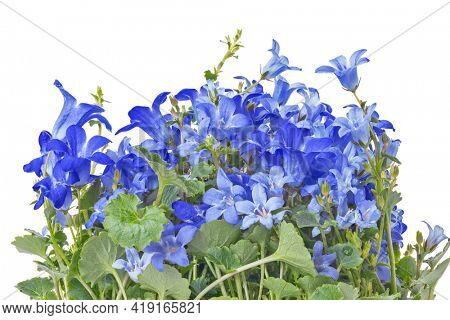bellflowers lush bunch isolated on white background