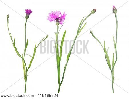 pink cornflowers isolated on white background