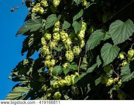 Common Hop With Cone Shaped Fruits Surrounded With Vegetation