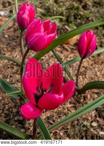 Close Up Shot Of Deep Magenta Flower Tulipa Humilis 'violacea Black Base' With Black Star Shped Cent