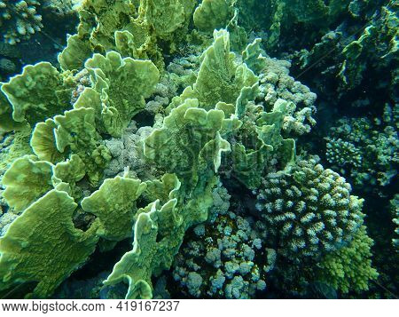 Blade Fire Coral Or Plate Fire Coral Or Wello Fire Coral (millepora Platyphylla) Undersea, Red Sea,