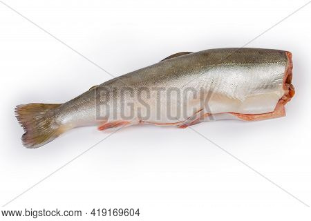 Whole Carcass Of The Fresh Gutted Uncooked Arctic Char Without Head On A White Background