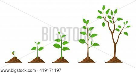 Tree Grow. Plant Growth From Seed To Sapling With Green Leaf. Stages Of Seedling And Growing Trees I