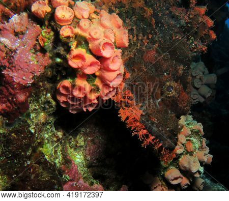 Close Up View Of A Bearded Scorpionfish Resting On Corals Cebu Philippines