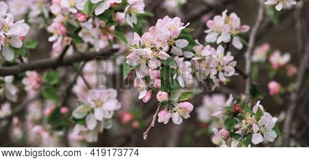 Blooming Apple Tree Close Up And Delicate Creamy Blurred Background. Long Horizontal Banner For Your