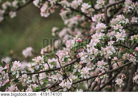 Horizontal Spring Background. Blooming Apple Tree Close Up And Delicate Creamy Blurred Background. J