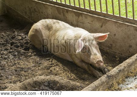 Thin And Small Pig In Small Wooden Stall, Pig Without Being Fed Well.