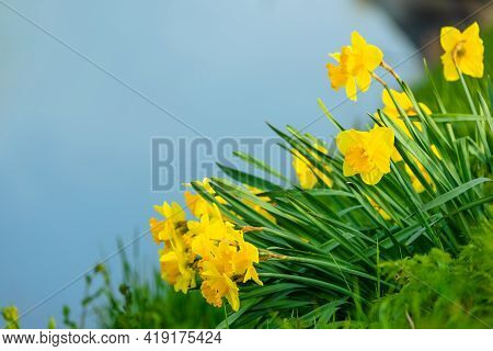 Spring Flower Daffodils Blooming During Spring Time Selective Focus Background Blur
