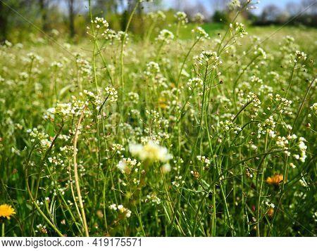 Shepherds Purse Plant In The Meadow. Capsella Bursa-pastoris. Meadow Or Field. Lawn In The Forest. B